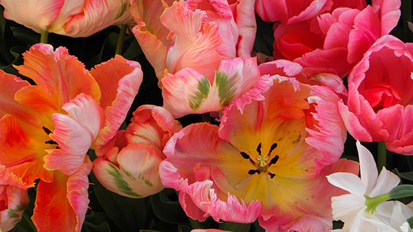 Parrot Tulips in a Variety of Colors