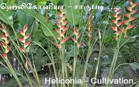 Heliconia - Cultivation and Crop protection in Tamil.