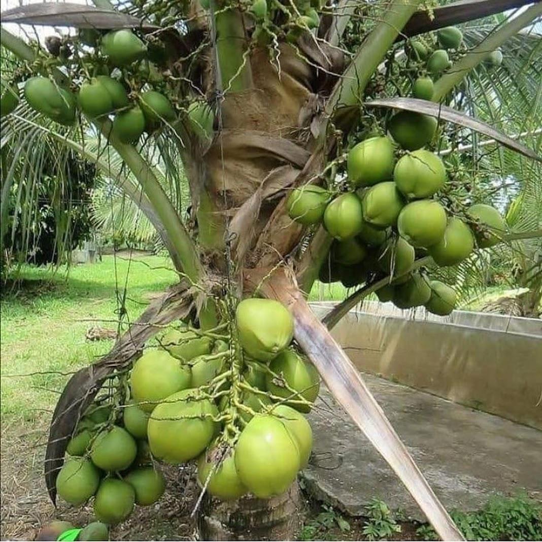 bibit kelapa hibrida pendek berbuah Jawa Timur