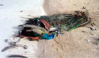 सड़क हादसे में राष्ट्रीय पक्षी की हुई मौत    #NayaSaberaNetwork