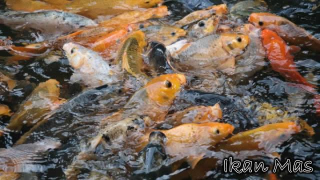 Umpan Sakti Ikan Mas Cuaca Panas Dan Musim Kemarau