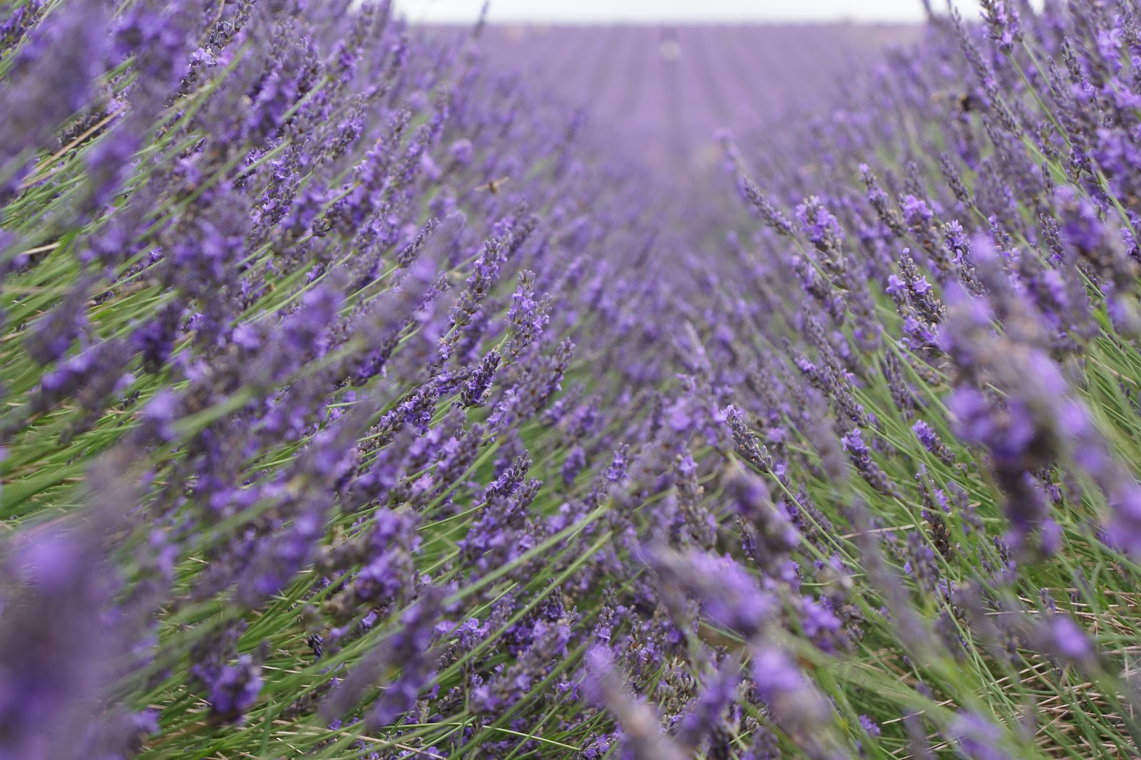 lavender field rows