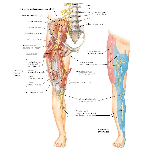 Femoral Nerve and Lateral Femoral Cutaneous Nerve Anatomy