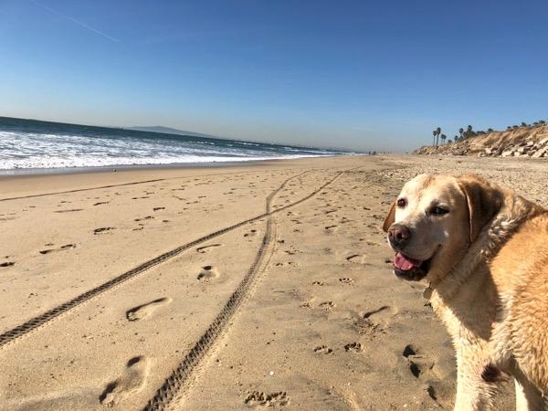 Huntington Dog Beach Labrador Cooper