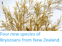 http://sciencythoughts.blogspot.co.uk/2013/08/four-new-species-of-bryozoans-from-new.html