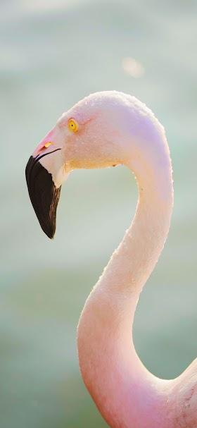 خلفية طائر النحام الوردي في مياه البحيرة