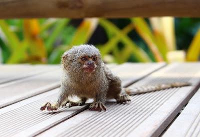 Pygmy Mosmet ( Monyet Terkecil di Dunia )