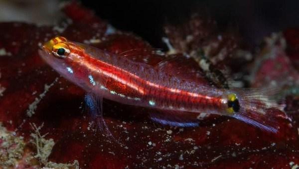 Ikan  Dwarfgoby (Eviota Gunawanae)