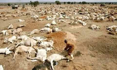 The Attah Of Igala cursed the Fulani Cows terrorizing IgalaLand With Thunder and killed Thousands