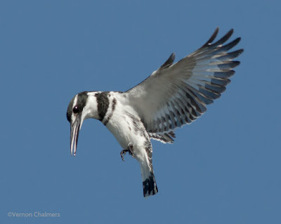 Early morning Pied King Fisher - Woodbridge Island 04