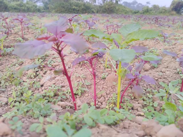 Purple amaranth (Amaranthus blitum subsp. oleraceusus) Kosala Saga (odia)