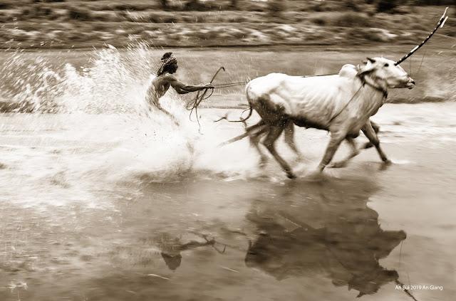 Cow racing in Mekong Delta Vietnam