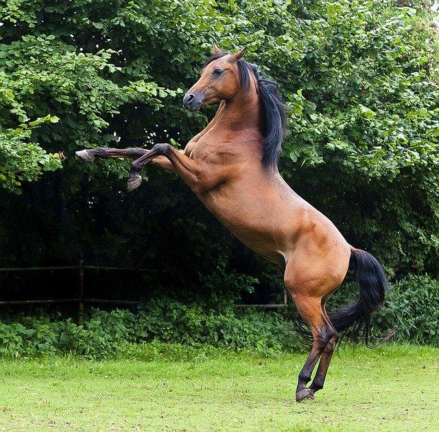 Arabian Horse - Origin, Characteristics