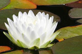 Цветок Екатерины - лотос