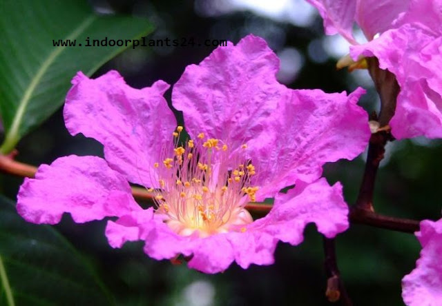 Cuphea Ignea Lythraceae Indor House Plant