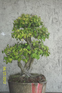 bonsai serut 1
