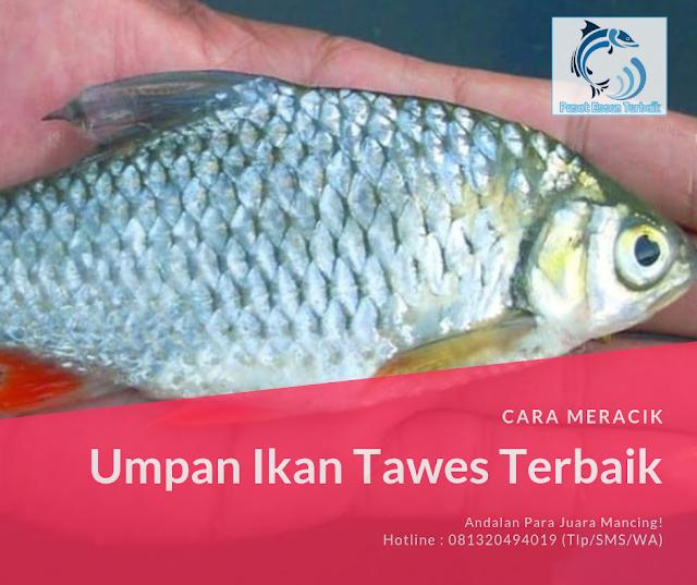 https://pusatessenterbaik.blogspot.com/2019/05/2-racikan-umpan-ikan-tawes-terbaik-paling-mantapp.html
