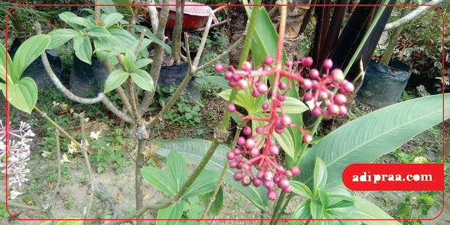 Tanaman Parijotho | adipraa.com