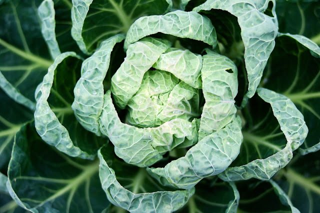 fresh collard greens grown from seeds