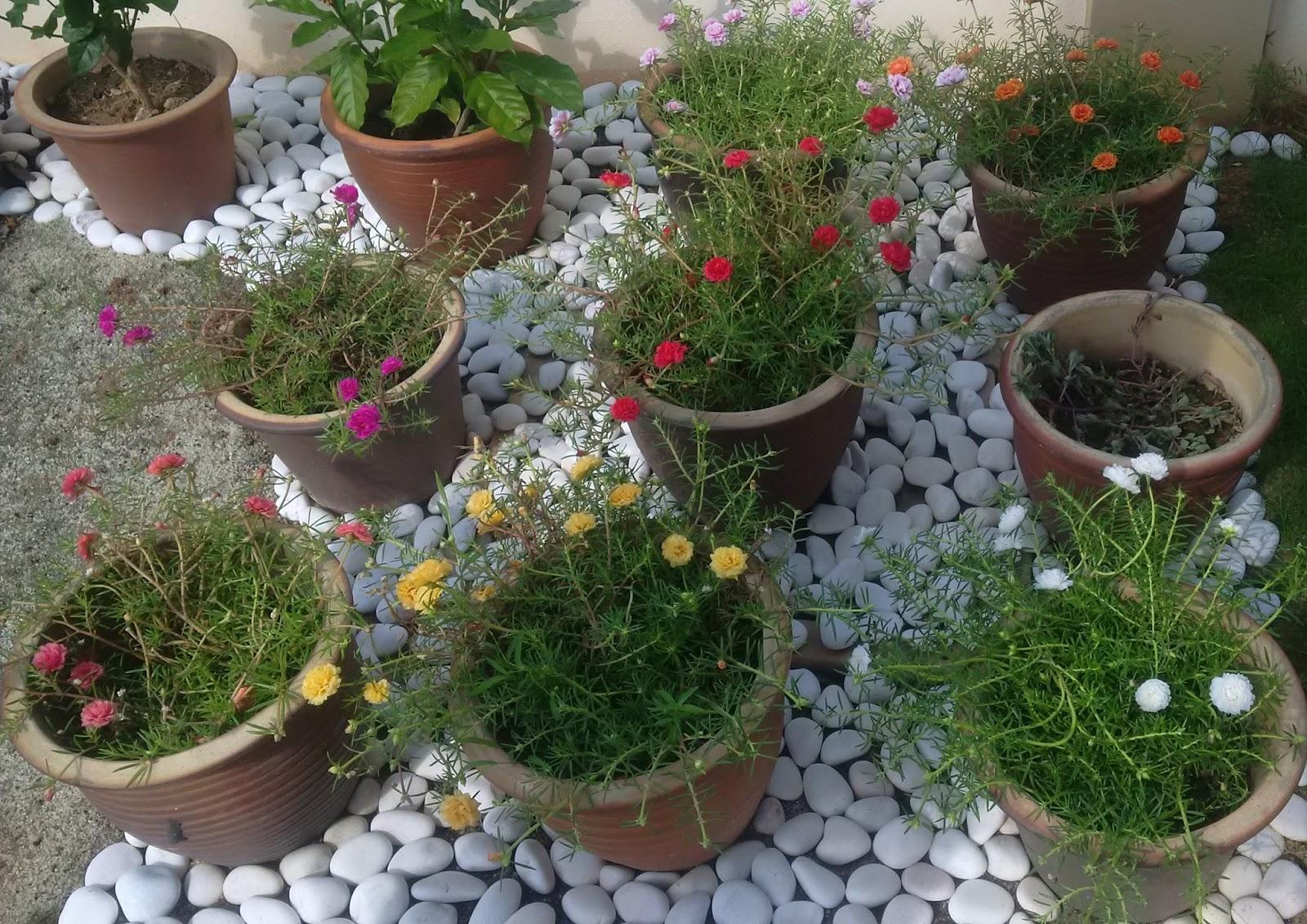Bunga Raya, Easiest Flower To Grow, Flowers, Flowers Growing In Sun,  Gardening