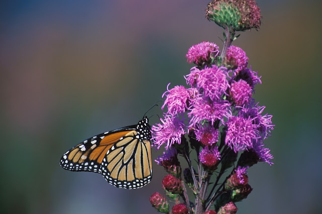 Monarch butterfly on blazing star