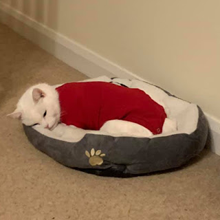 white cat wearing red vest and sleeping in cat bed