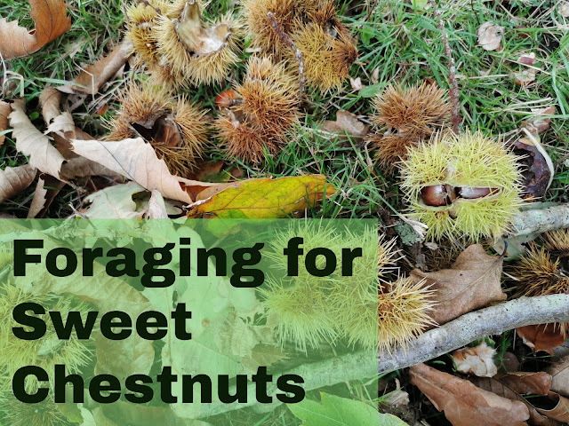Guidance for the novice forager to help them pick, store and cook sweet chestnuts