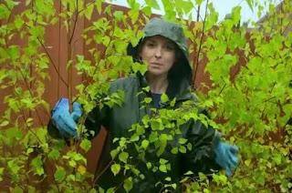 Frances plants birch trees