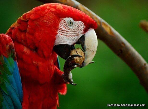 Burung Scarlet Macaw