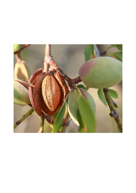 فوائد اللوز,اللوز,فوائد زيت اللوز,فوائد حليب اللوز,فوائد زيت اللوز للشعر والبشرة,وائد زيت اللوز الحلو