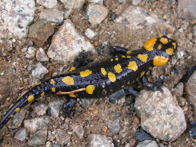 Salamandra corsica