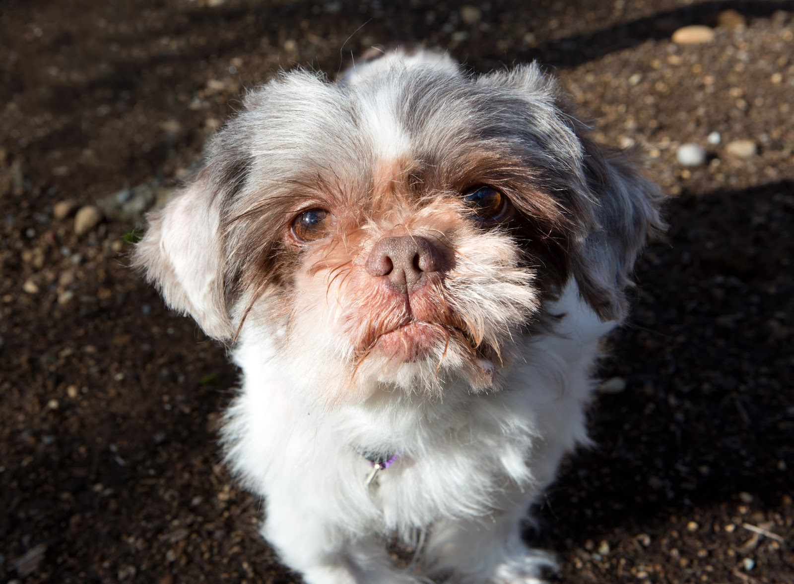 Shelter Dogs Of Portland Quot Chester Quot Little Sweetie Shih Tzu Mix