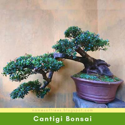 Cantigi Bonsai