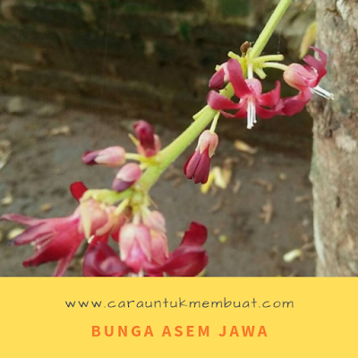 Bunga Asem Jawa