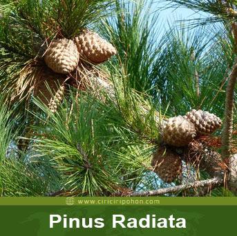 ciri ciri pohon pinus radiata