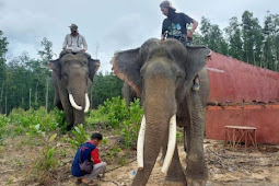 Gajah Kaesang dan Dodo di Indragiri Huluh Pindah ke Taman Nasional Teso Nillo