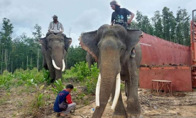 Gajah Kaesang dan Dodo di Indragiri Huluh Pindah ke Taman Nasional Teso Nillo.lelemuku.com.jpg
