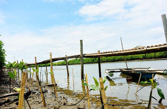 Area Hutan Mangrove di Pantai Congot, Kulon Progo
