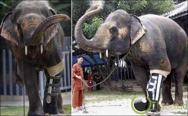 Motala si Gajah Thailand