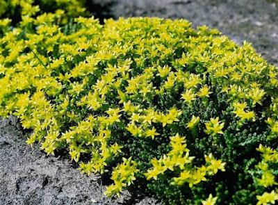 Suculenta Carpete Dourado - Phedimus Kamtschatica