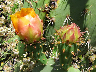 Prickly-pear cactus,Opuntia littoralis