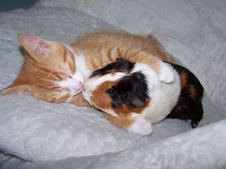 interacción gato cobayo