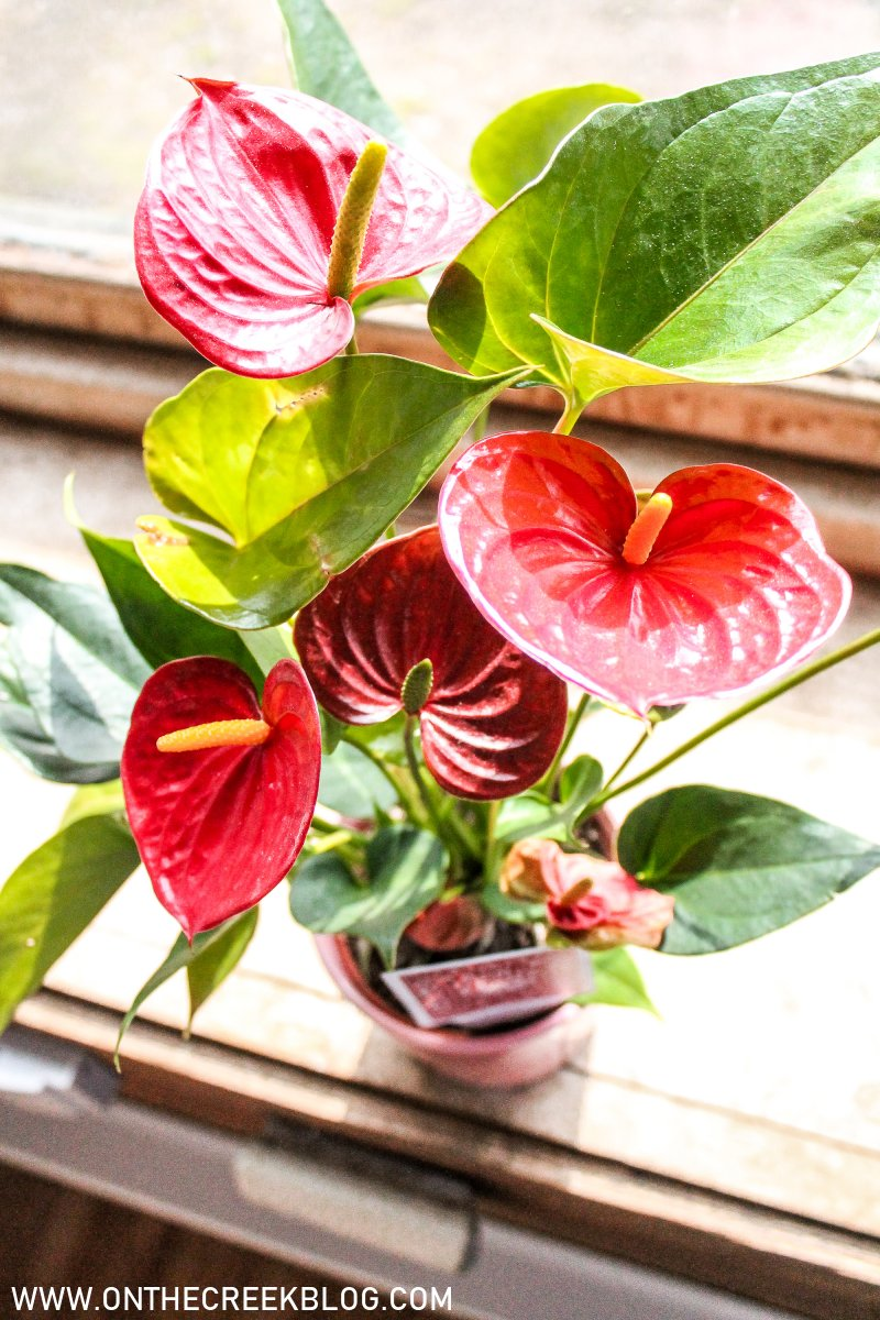 Ace of Hearts Anthurium -- pictures & plant care guide | On The Creek Blog