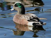 American Wigeon drake – Westchester Lagoon  Anchorage, AK - Donna Dewhurst, USFWS