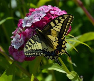 Schmetterling, mariposa, butterfly, fluture, papillon, бабочка, con bướm, motýl, fjäril, kupu-kupu, féileacán, farfalla, Leptir, drugelis, пеперутка, motyl,