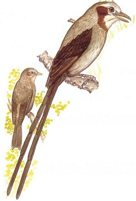 aves de Misiones Yetapá grande Gubernetes yetapa