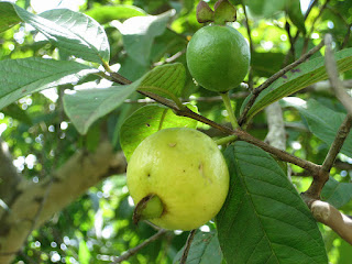 guava still up on a tree