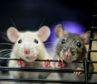 Picture of two experimental rats in lab