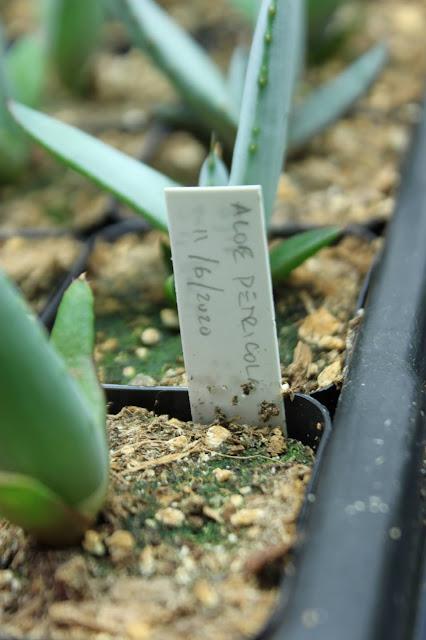 Aloe petricola closeup with plant label