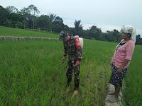 Bantu Tingkatkan Hasil Panen Petani, Babinsa  Siantar Utara  Terjun Langsung Ke Sawah